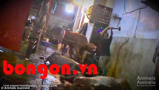 Thịt bò mỹ nhà cung cấp thịt bò: Úc cấm nhập bò nguyên con sang Việt Nam